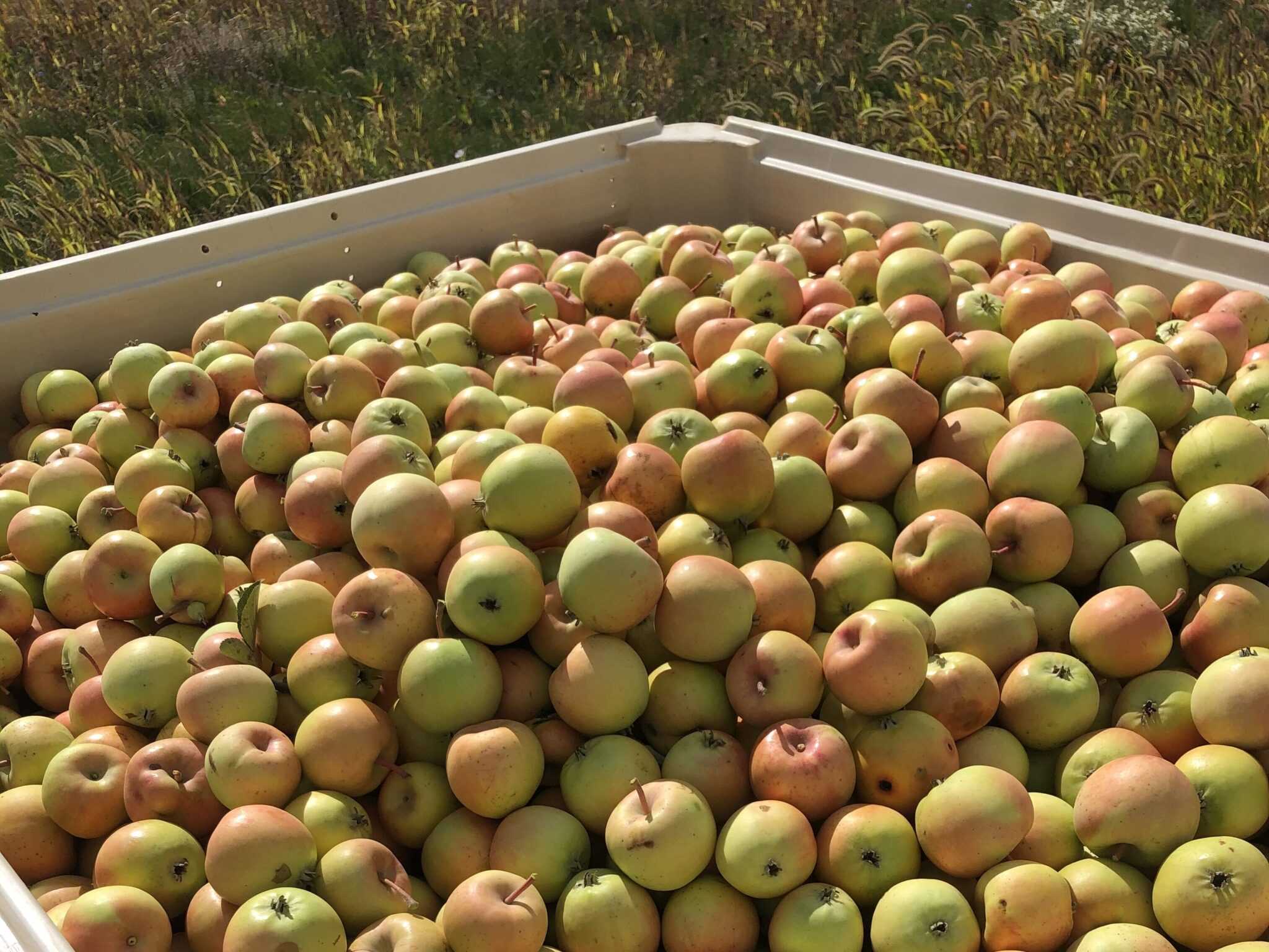 Bin of harrison cider apples waiting for the press at the orchard in prince edward county cidery